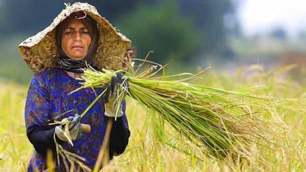 علت گرانی برنج نبود نظارت است